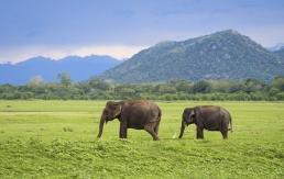 srilanka elefantes